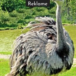 rhea-bird-1438617_960_720